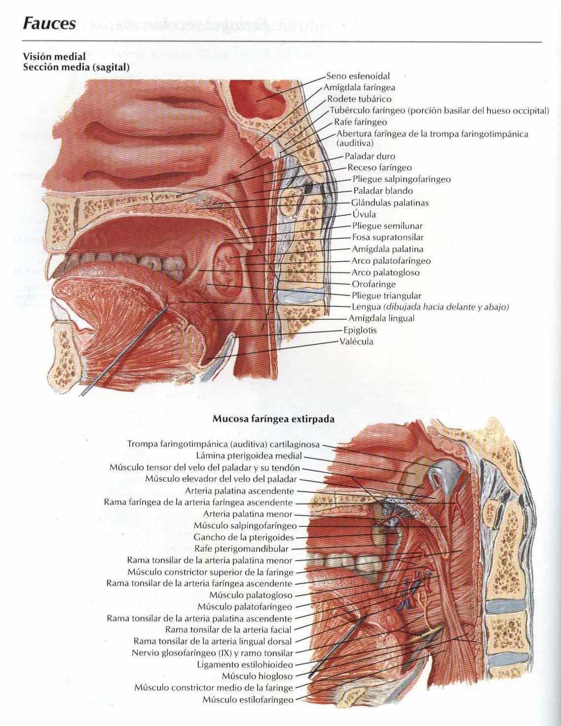 Atlas: Anatomía Fauces