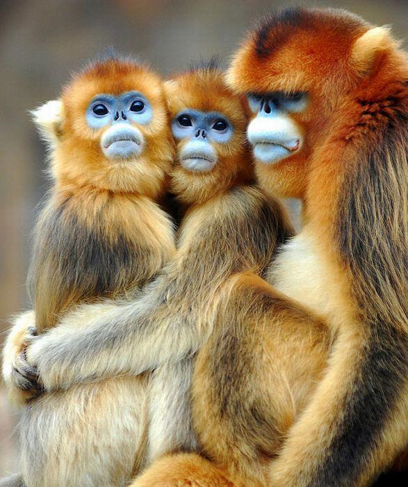 Família de macacos de rosto azul