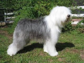 raza de perro Bobtail