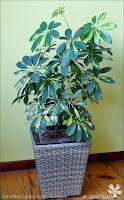 Schefflera arboricola - Szeflera drzewkowata