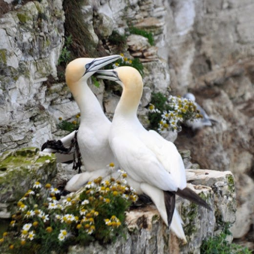 Adult Gannets bringing seaweed to the nest