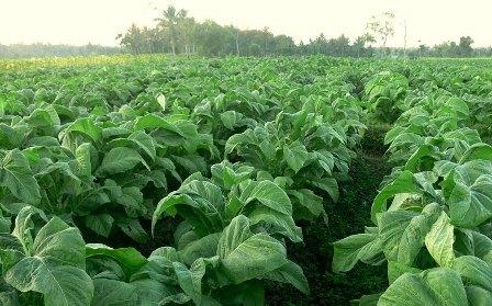 Teknis Budidaya Tanaman Tembakau dengan Produk Pupuk Organik NASA | Agro Nusantara.