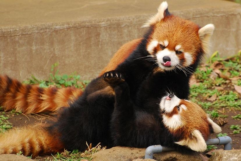 matin lumineux le panda roux. Black Bedroom Furniture Sets. Home Design Ideas
