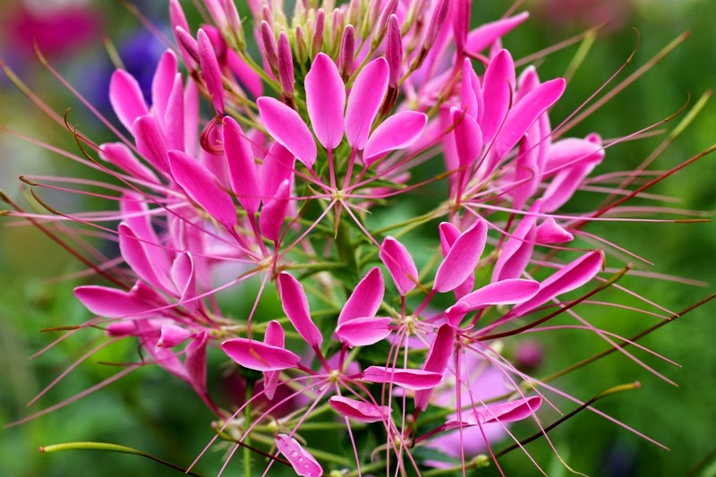 Cleome flower at Seed Savers Exchange, Decorah, Iowa