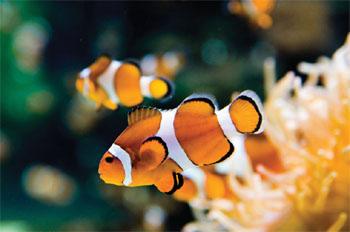 Life of orange clownfish life of sea for Clown fish scientific name