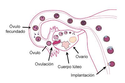 Proceso por el que pasa el folículo y el óvulo en caso de fecundación