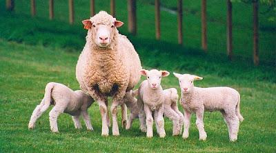 Criar ovejas