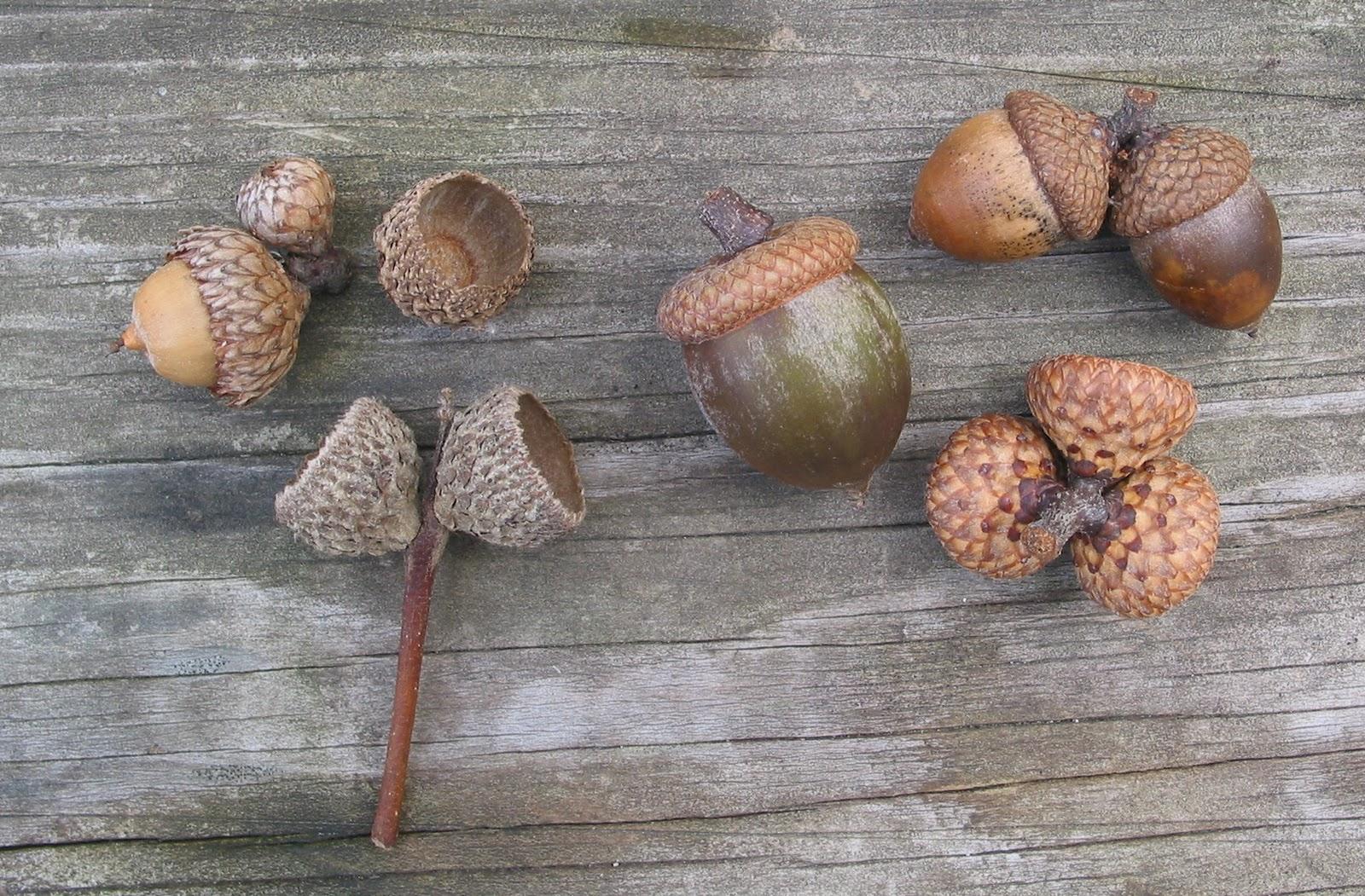 Spicebush log white oak