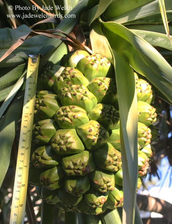 fruit measure palm cockatoo jadewelchbirds pandanus