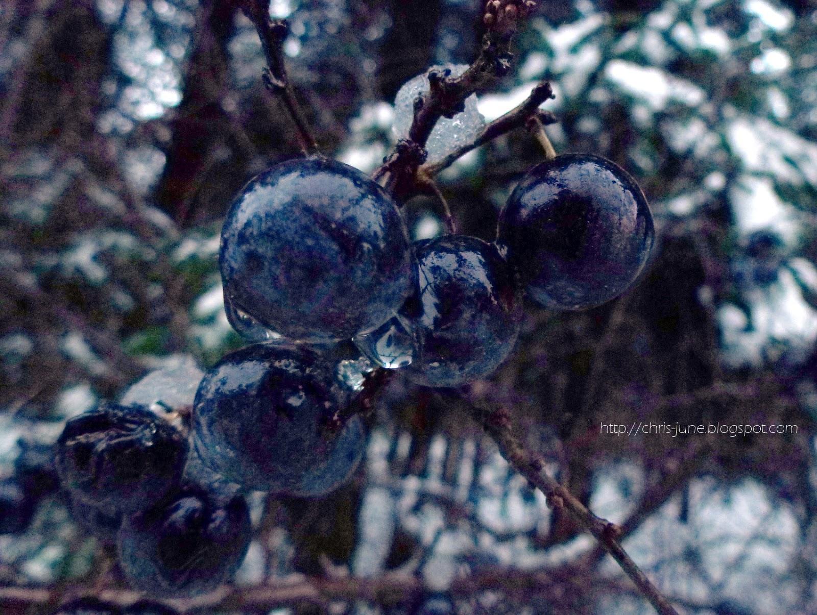 Schlehen im Winter
