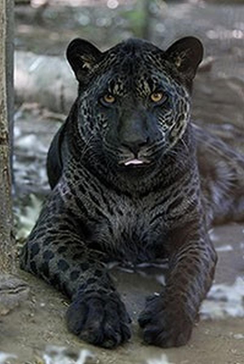 Las Fotos Mas Alucinantes: Jazhara, jaguar-leon y negro
