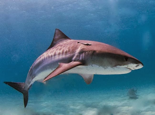 Tiger Shark, Hiu Macan