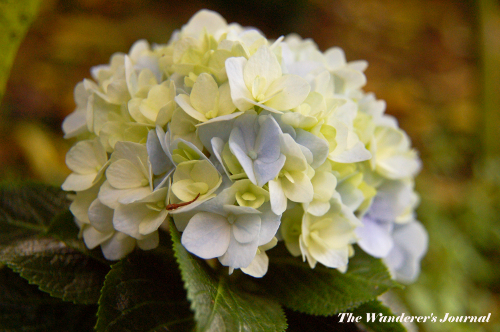 The wanderer 39 s journal four tips in growing hydrangeas - Care potted hydrangea ...