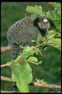 Black tufted ear Marmoset