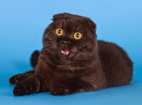 Фото шотландских вислоухих черных котят