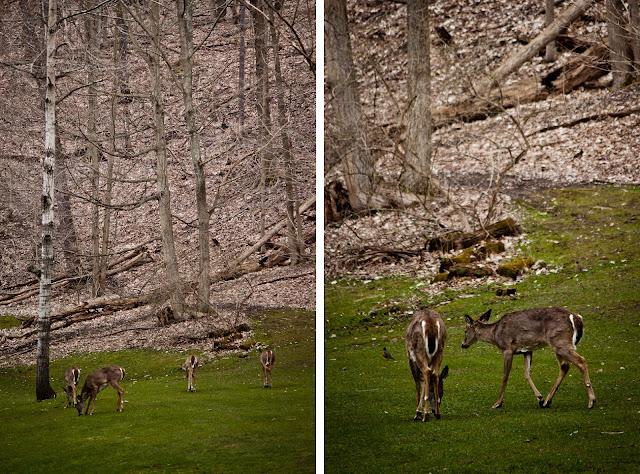 Whitetail Deer Grazing