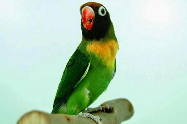 suara lovebird durasi panjang plus isian