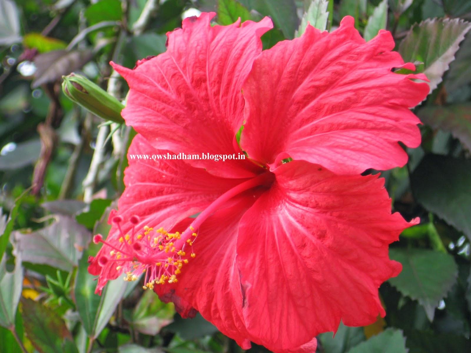 செம்பருத்தி பூ - ஔசதம்