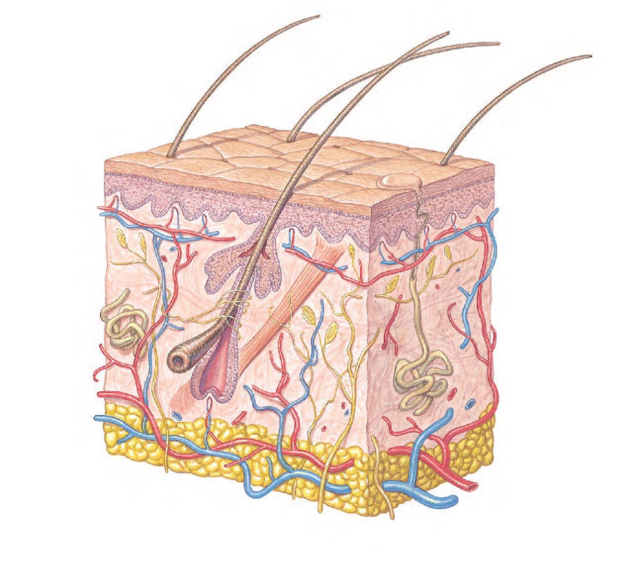 estructura piel: