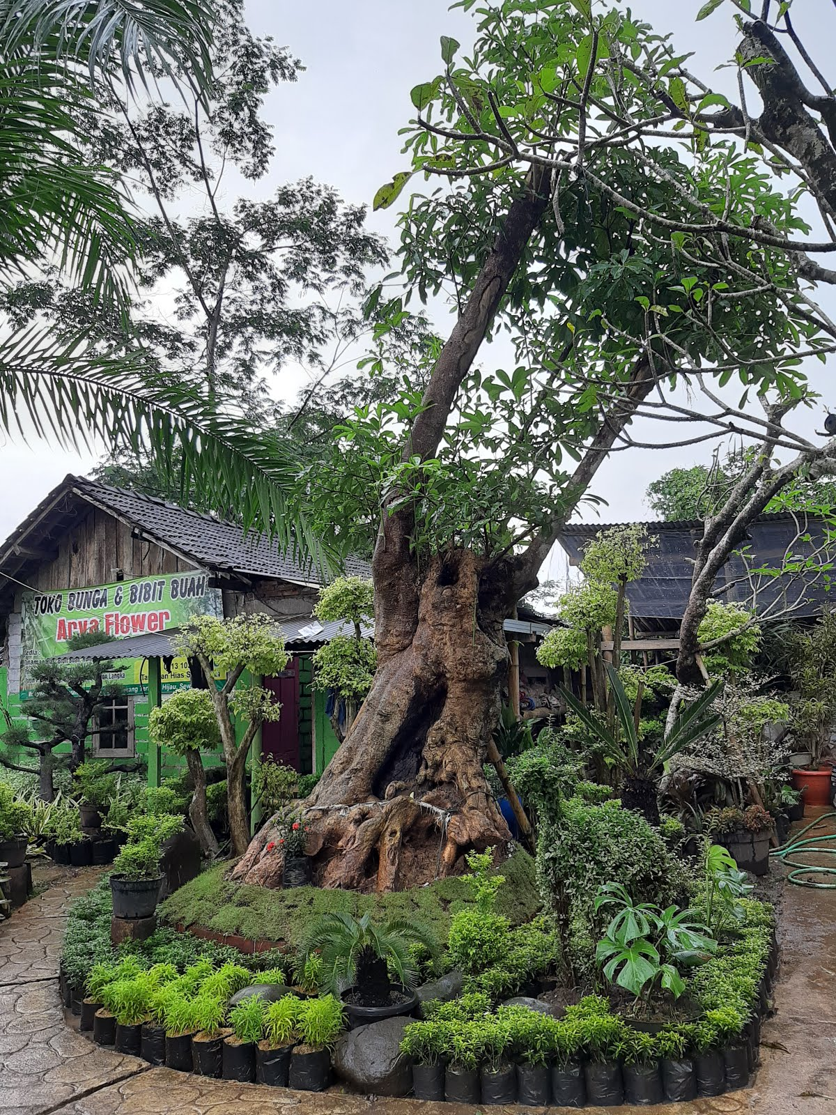 Pohon Pule Doyong
