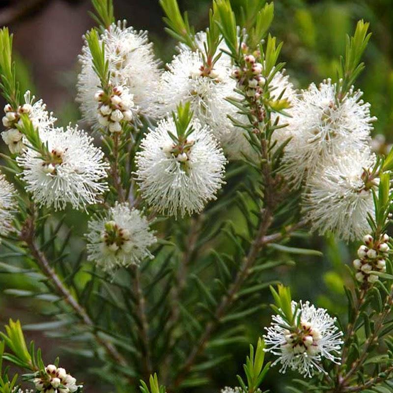 Manfaat Tumbuhan Melaleuca Alternifolia untuk Obat Demam Berdarah