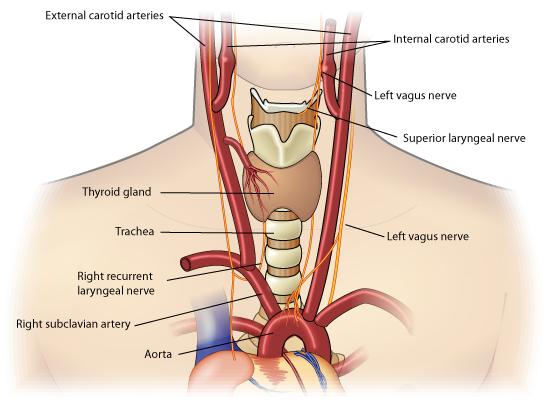 Health>Mind+Body: Mammalian Respiration - Nerve Effects