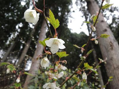 木イチゴの花