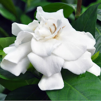 Gardenia augusta of My Perfumed Garden