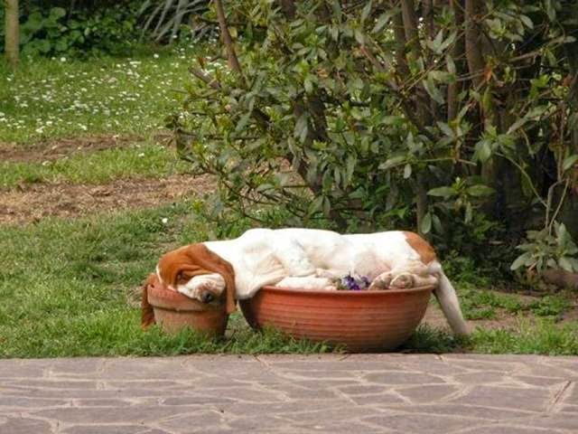 Beagle sleeping on two pots