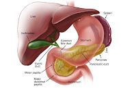 Digestive System of the Bile Duct