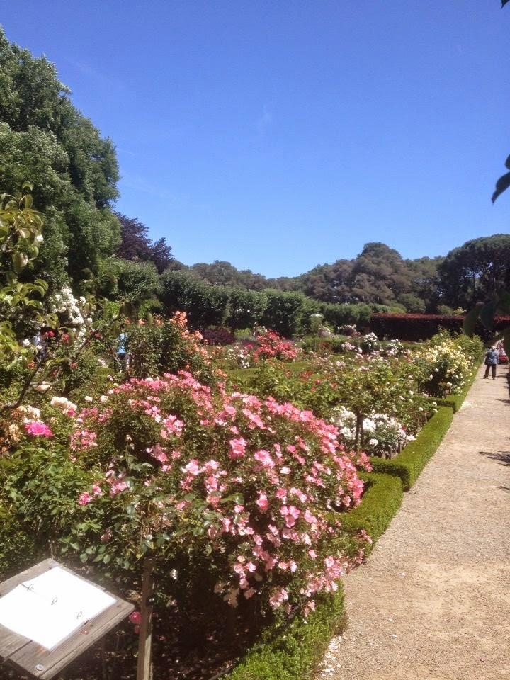 California roses Filoli gardens