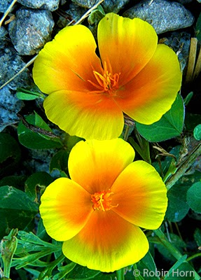 Two California Poppy Blossoms