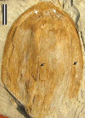 early Eocene, Fossil, 55 million year old, fruit fossil, Cocos Sahnii