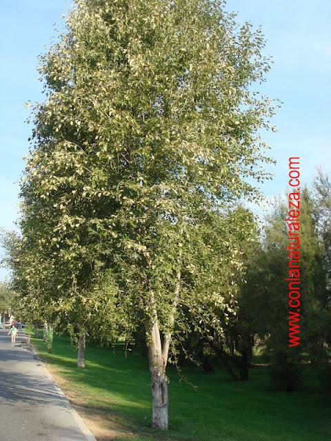 Flora urbana de getafe chopo de china for Lista de arboles de hoja caduca