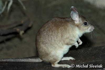 Malgasy giant rat