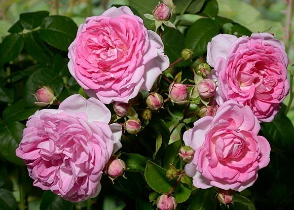 Jasmina rose сорт розы фото