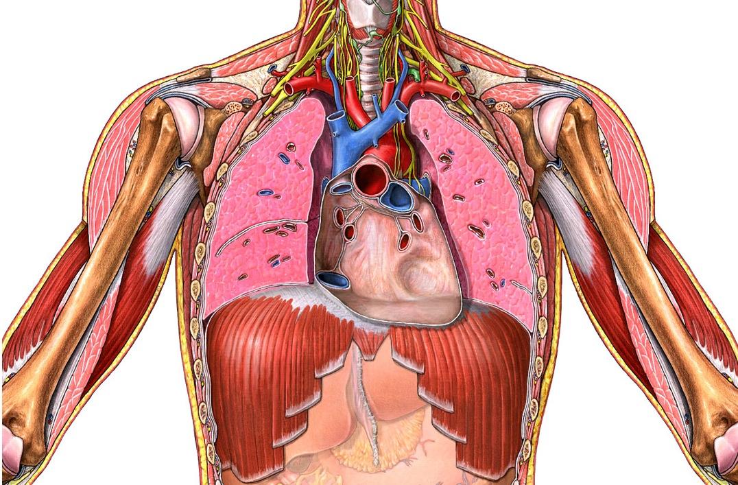 El blog de Lorena: practica del sistema cardiovascular.