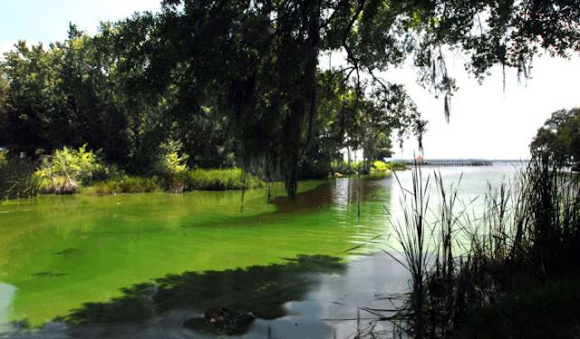 St. Johns River Toxic Algae Bloom