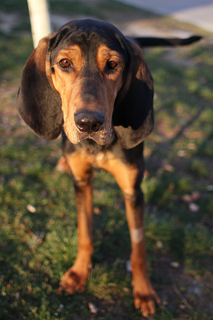 George - Black and Tan Coonhound