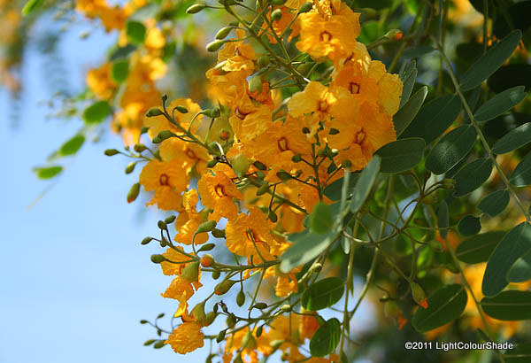 Yellow Acacia Flowers Cer