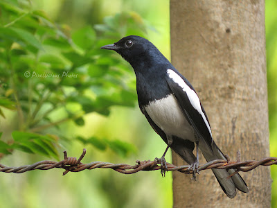My Best Shot of an Oriental Magpie Robin