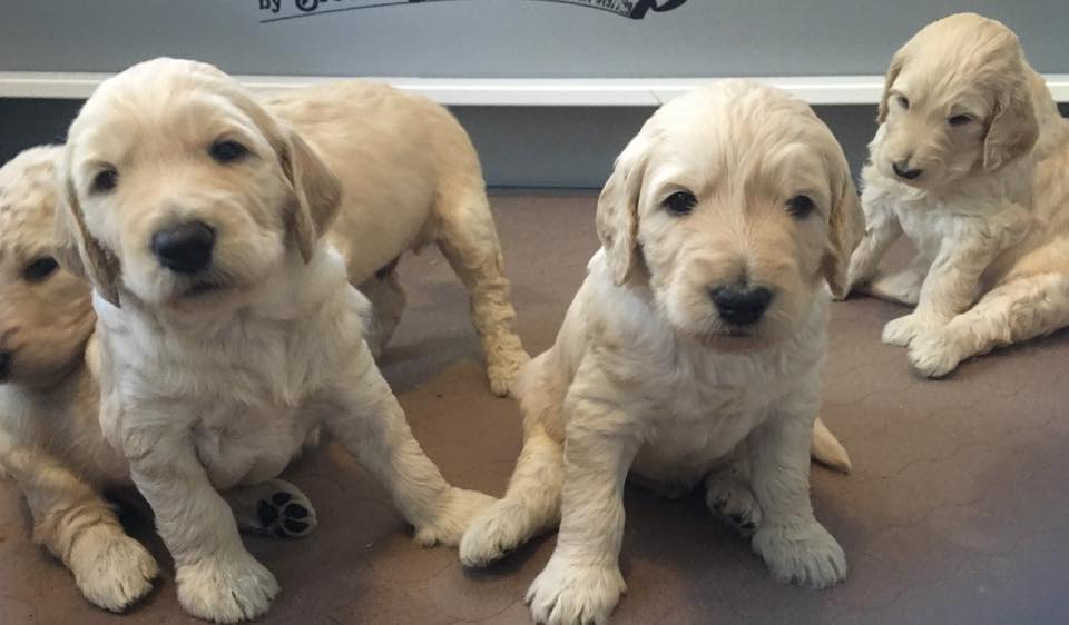 F1b Medium Goldendoodle Puppies, 45-55 lbs, available by early February, 2017