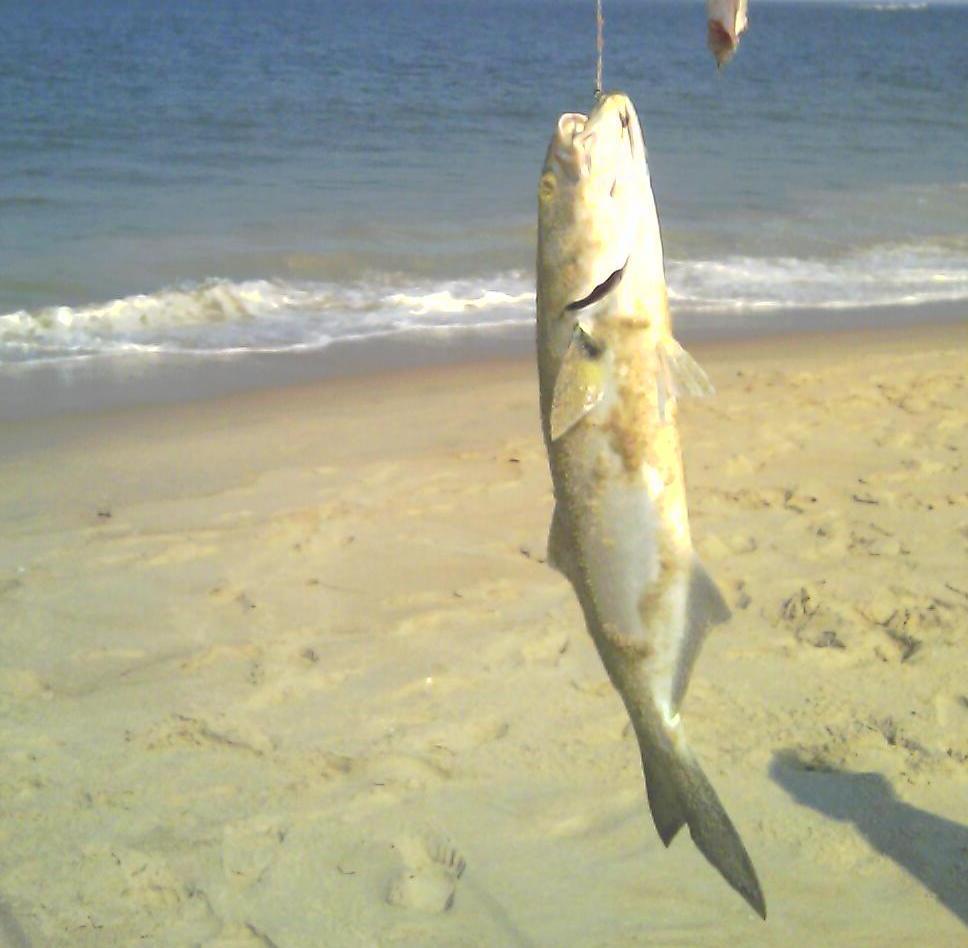 Pesca dal porto pescare il serra con il vivo - Come cucinare il pesce serra ...