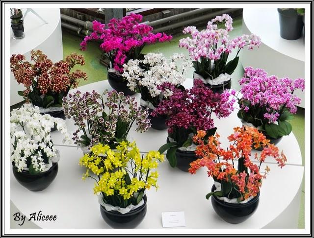 orhidee-mici