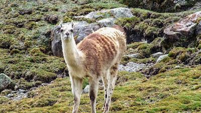 llama_rebaño_granja_montaña_paisaje_trekking_hiking_laguna_rapagna_lima_huarochiri_peru