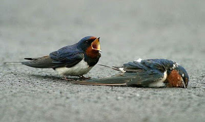 male bluebird mourns mate