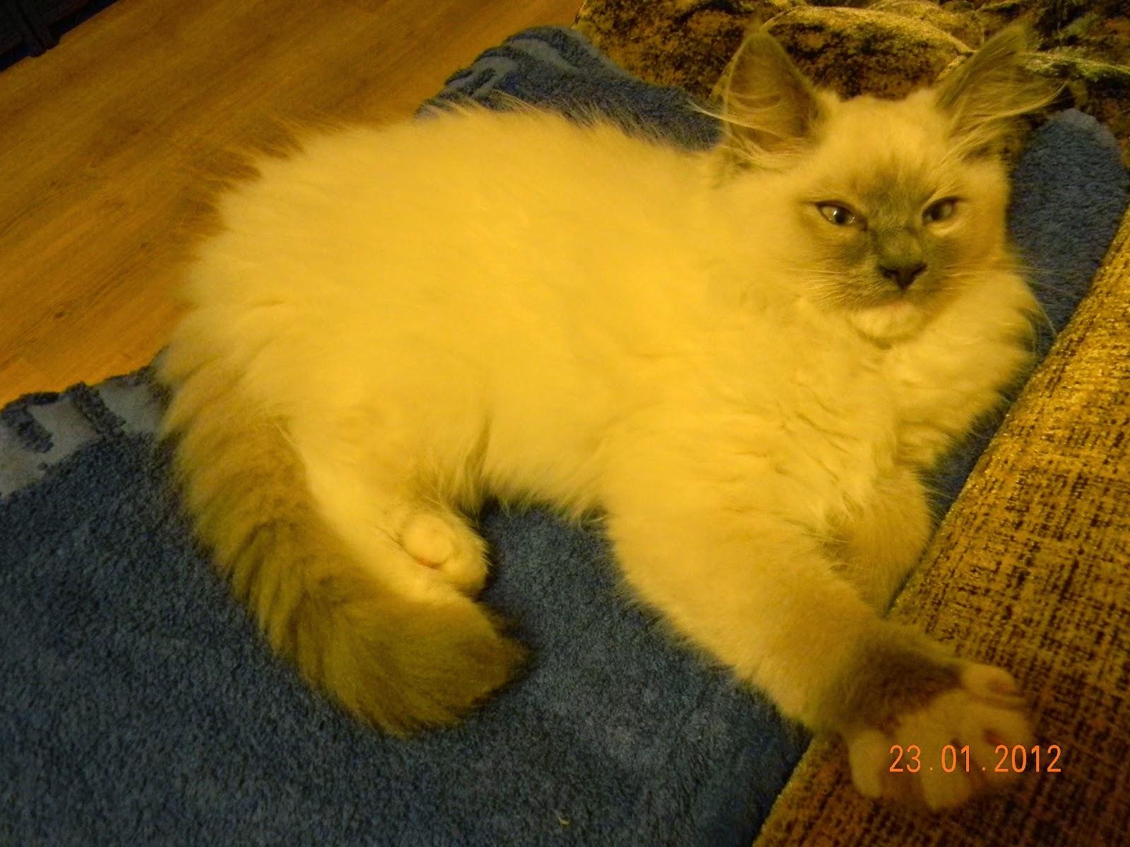 2 O Rasie Ragdoll Kot Jak Pies