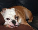 Bulldogs and More!  Natural Pet Care