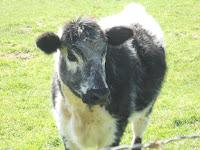 Pretty Spring Cow
