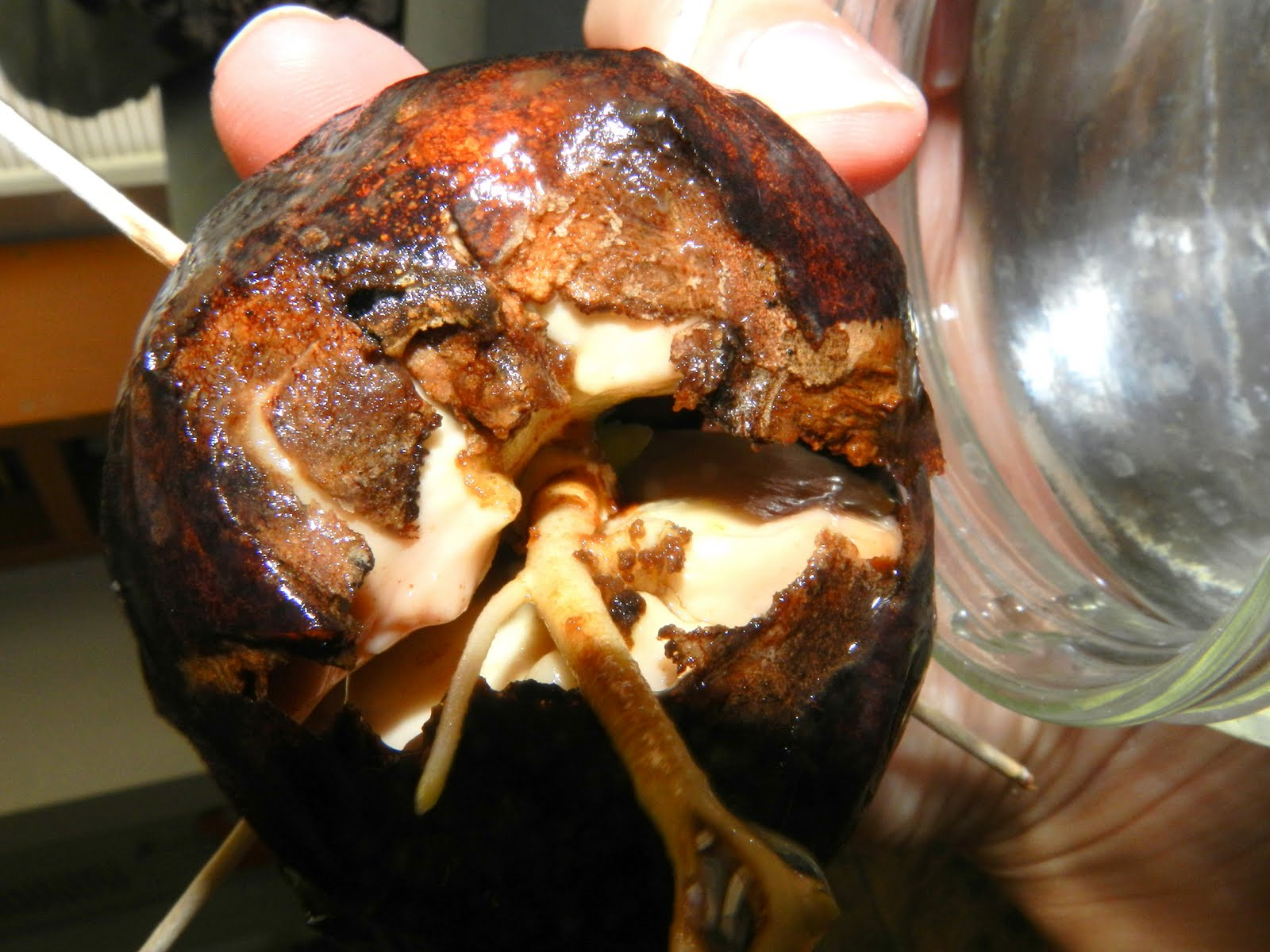 how to grow an avocado pit without toothpicks